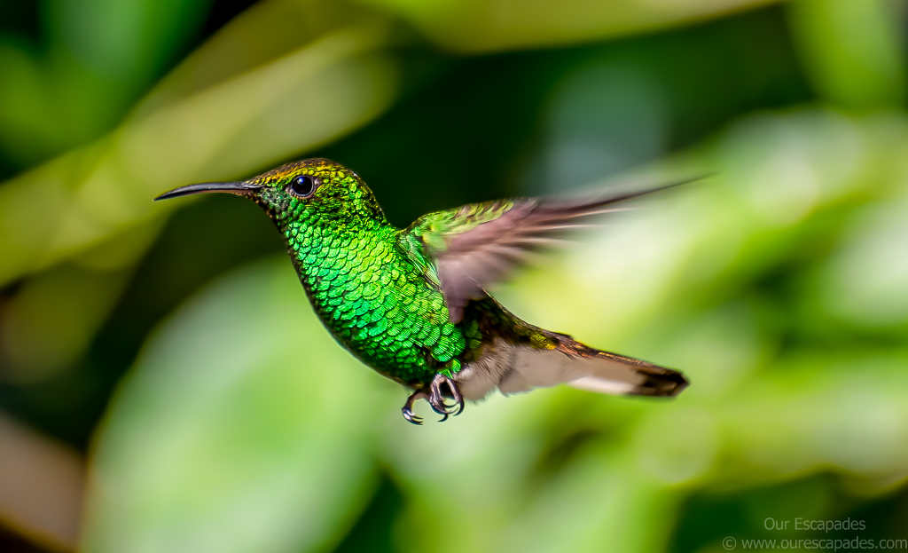 Humming Bird - Monteverde Cloud Forest