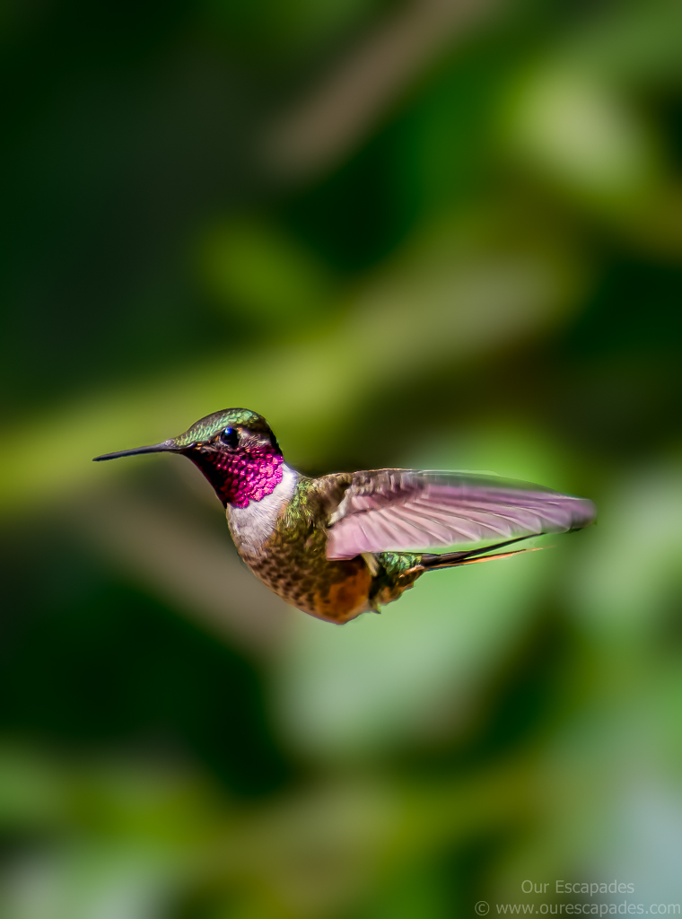 Hummingbird in Monteverde Costa Rica