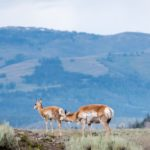 THE BEST PLACE TO SEE WILDLIFE IN YELLOWSTONE