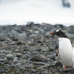 Yankee Harbor – Our step on Antarctica